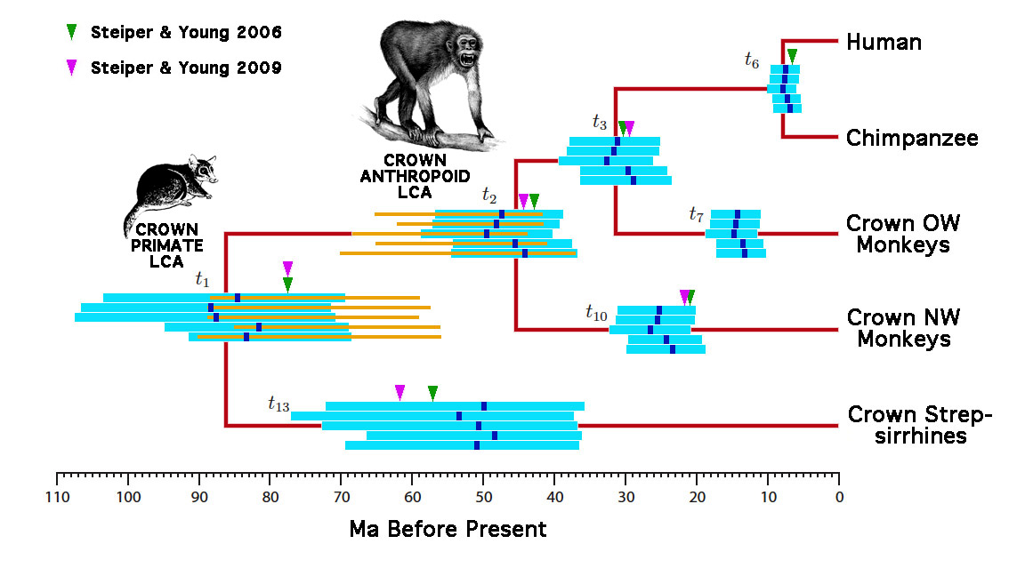 Primate genetic and fossil posteriors